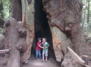 My boys in a redwood tree in Muir Woods