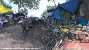 Indian oxen walking through market