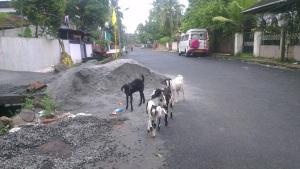 Goats in Kochi