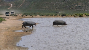Hippos at Aquilla Game Reserve