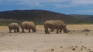 Rhinos at Aquilla Game Reserve